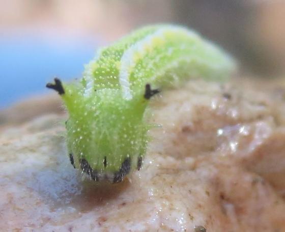 green caterpillar - Asterocampa