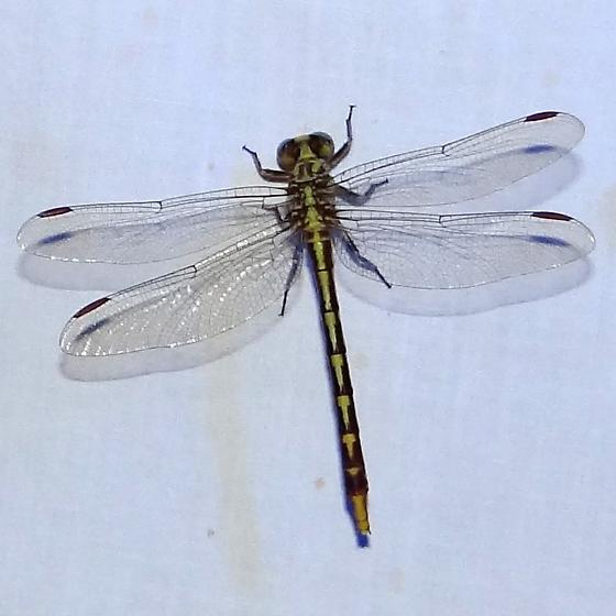 Dragonflies (Anisoptera) » Skimmers (Libellulidae) ? - Phanogomphus militaris - female