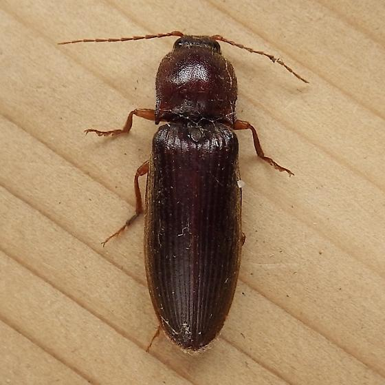 Elateridae: Unknown Species - Hemicrepidius