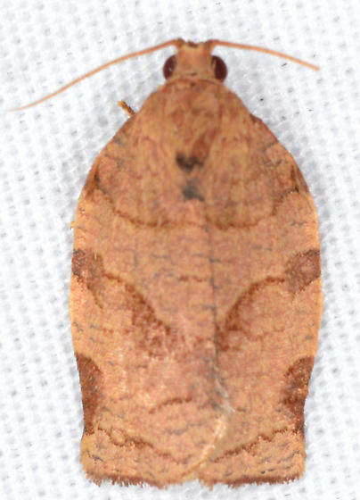 Choristoneura rosaceana - Oblique-banded Leafroller - Choristoneura rosaceana - male