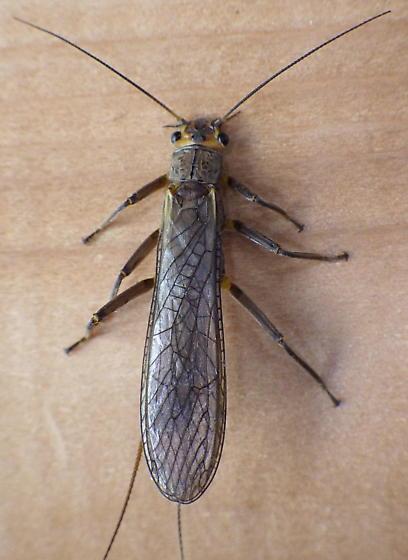 Unknown Plecoptera