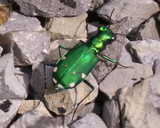 Six-spotted Tiger Beetle - Cicindela sexguttata - female