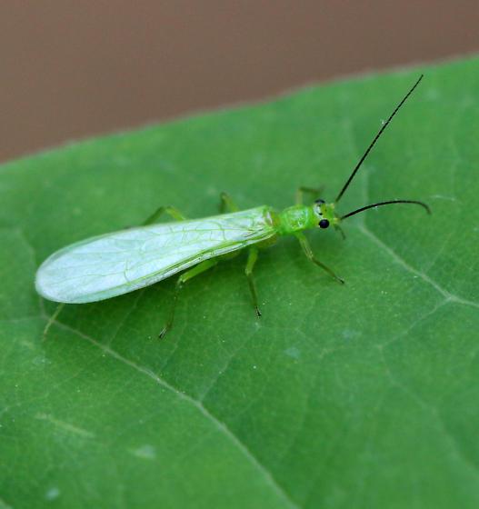 Green Plecoptera ID?