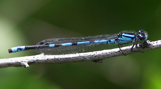 New England Bluet - Morris Co., NJ - Enallagma laterale - male