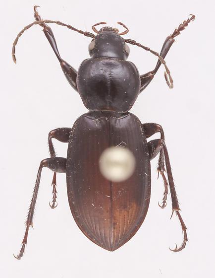 Synuchus dubius