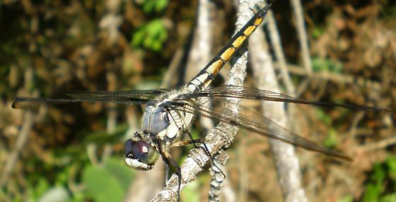 L. vibrans? - Libellula vibrans - male