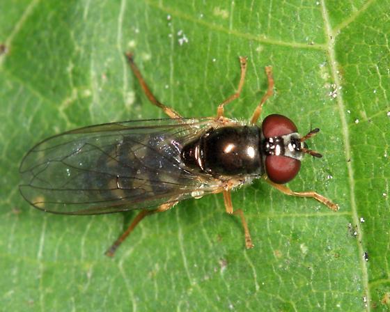 Syrphid - Melanostoma mellinum - female