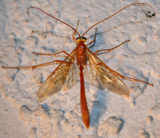 Unknown orange insect. - Enicospilus