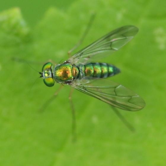 Leaf predator - Condylostylus - female
