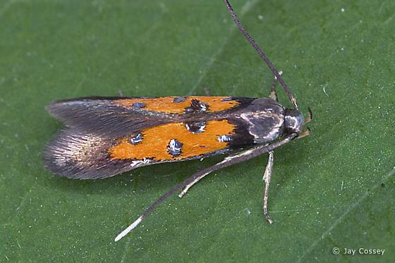 Orange Micro Moth - Chrysoclista linneella