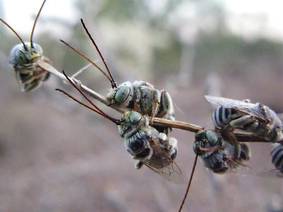 AZ native bee congregation