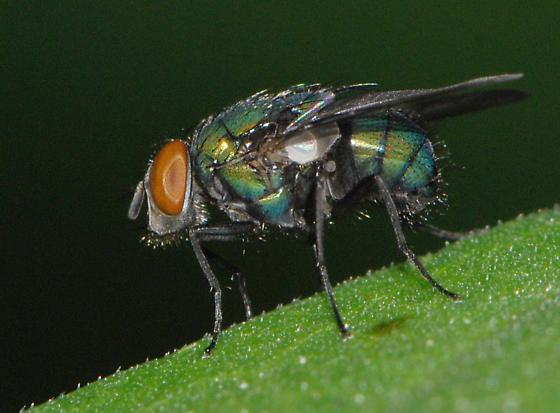 Green Bottle Fly - Lucilia - female