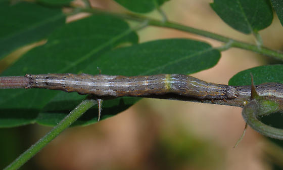 One-lined Zale - Hodges#8716 - Zale unilineata