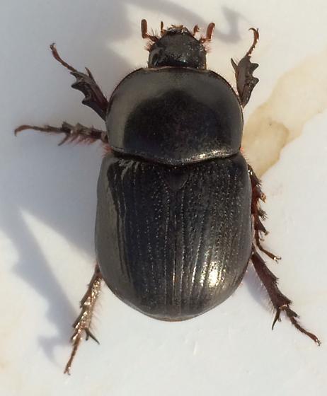 Large scarab - Xyloryctes jamaicensis