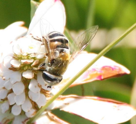 Palpada or Eristalis in the Syrphidae - Eristalis stipator