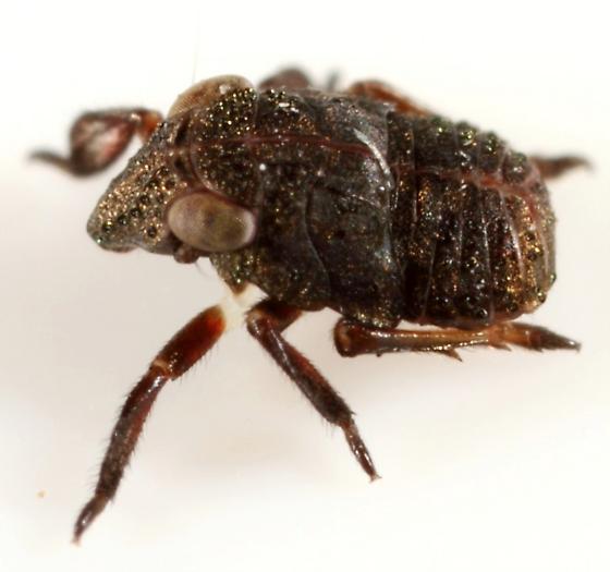 Piglet bug - Fitchiella rufipes