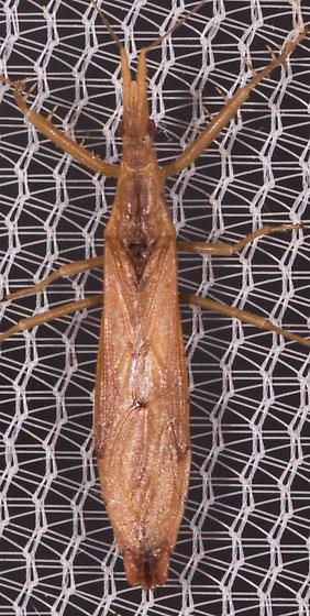 Plant Bug? - Pnirontis modesta