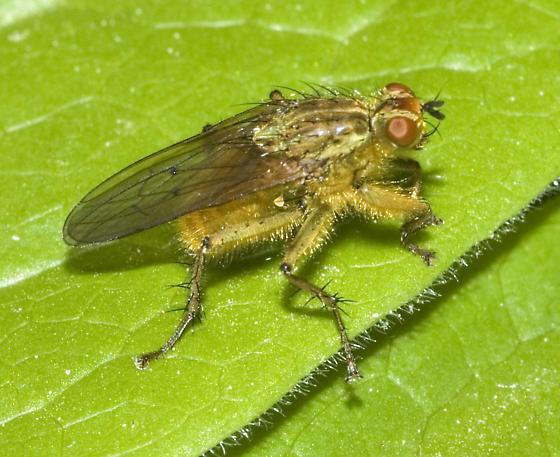 Golden Dung Fly? - Scathophaga stercoraria