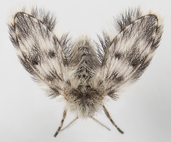 Moth Fly - Pericoma signata - female