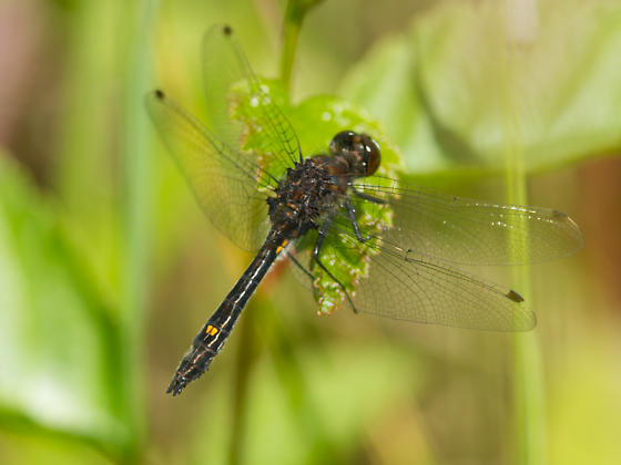 Unknown Dragonfly - Leucorrhinia intacta