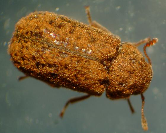 Unknown Beetle - Endecatomus rugosus