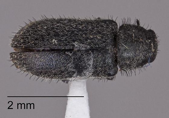 Listropsis - Cradytes longicollis