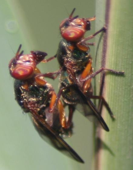 Mating Tephritid flies? - Senopterina - male - female