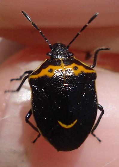 Shield bug ? - Cosmopepla conspicillaris