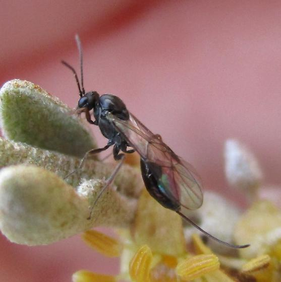 Small Wasp in Blossoms - female