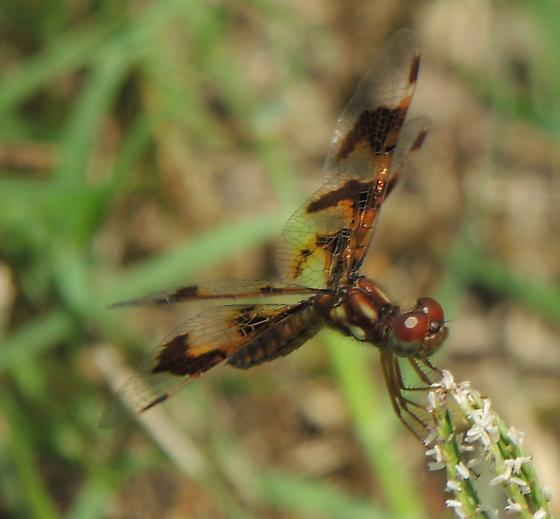 small brown dragonfly - Perithemis tenera - female
