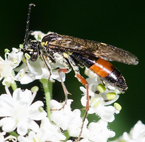 Unknown Wasp - Tenthredo