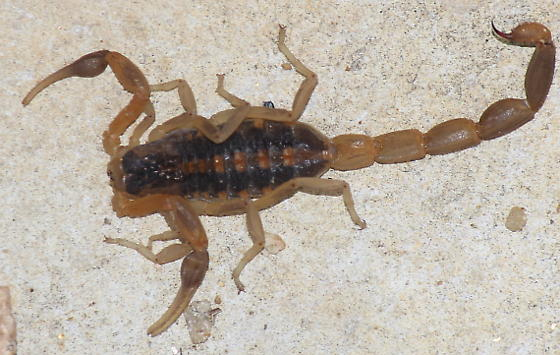 Striped Bark Scorpion - Centruroides vittatus - female