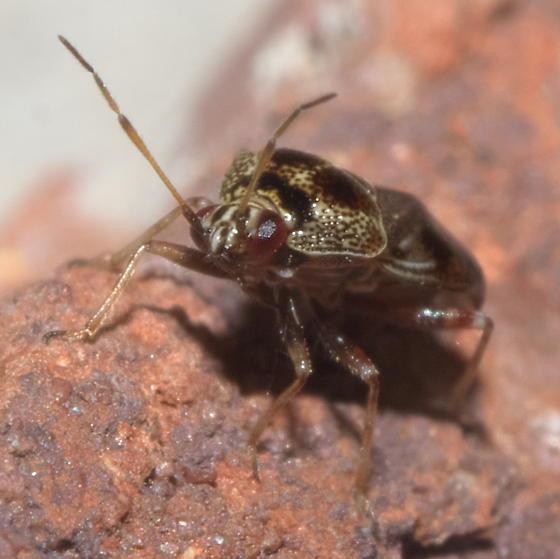Brown plant bug with a little white - Deraeocoris