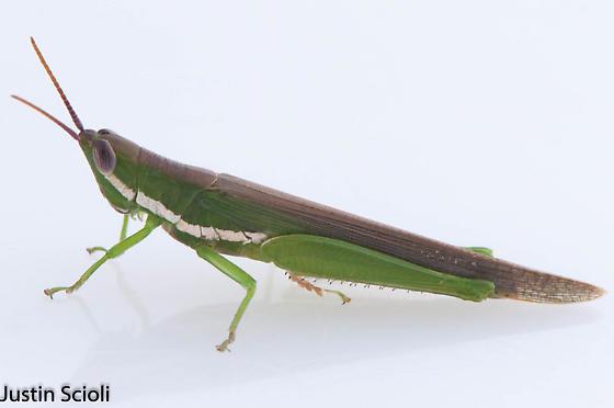 Gomphocerine? - Stenacris vitreipennis