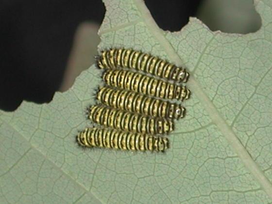 First instar - Callosamia promethea