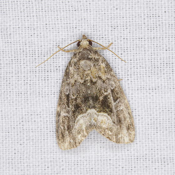 Moth V - Protodeltote muscosula
