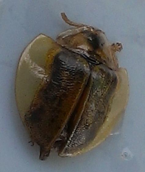 Beetle - Physonota calochroma