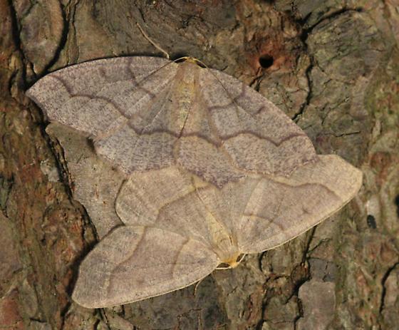 Mating Moths - Lambdina fiscellaria - male - female