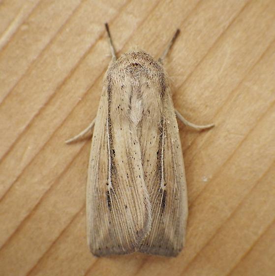 Noctuidae: Leucania multilinea? - Leucania multilinea