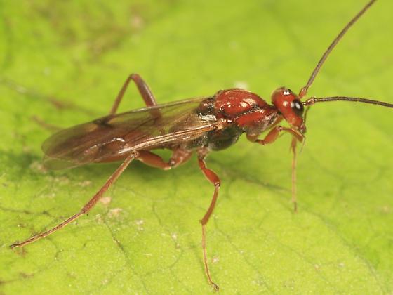 Procto - Proctotrupes pallidus - male