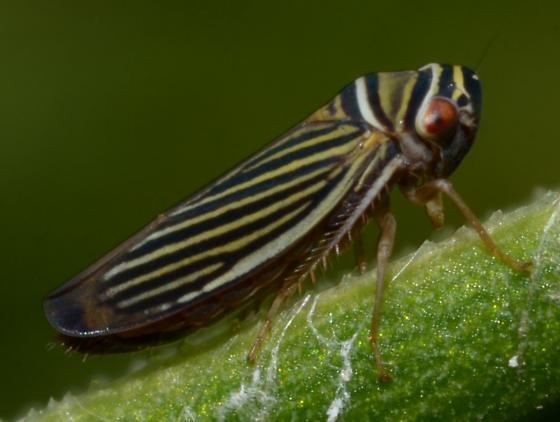 striped bug - Tylozygus bifidus