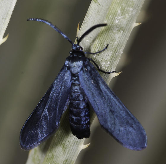 One of the Harrisina, we would imagine - Harrisina metallica