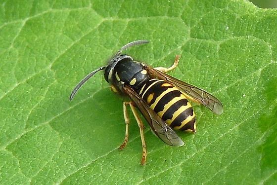 Yellowjacket - Vespula acadica