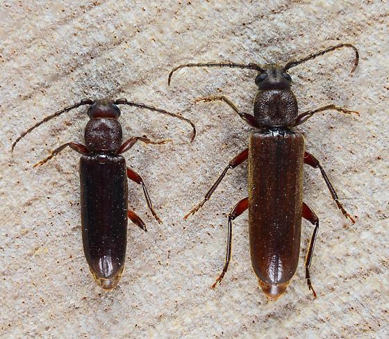 A mating pair of Asemini....  - Megasemum asperum - male - female