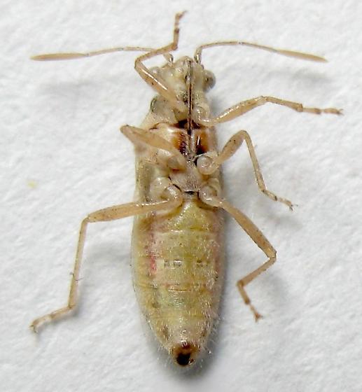 Scentless Plant Bug - Brachycarenus tigrinus