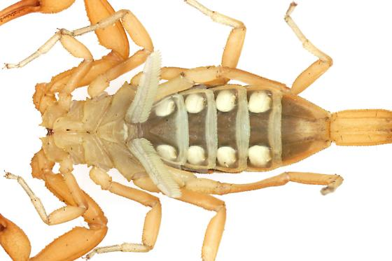 Arizona Bark Scorpion? - Centruroides sculpturatus