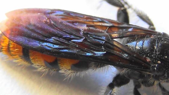 Grub-lover (wings) - Campsomeris tolteca - female