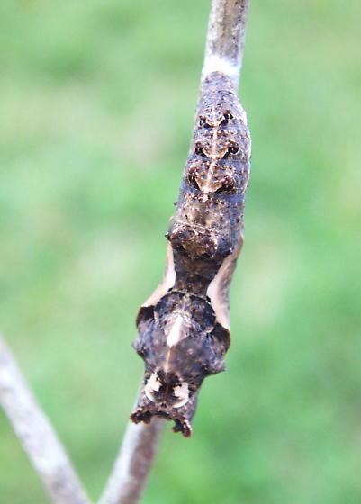 Gulf Fritillary pupa 10/28/06 - Agraulis vanillae