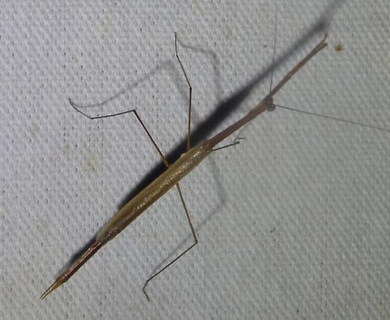 Manomera - Thesprotia graminis - male