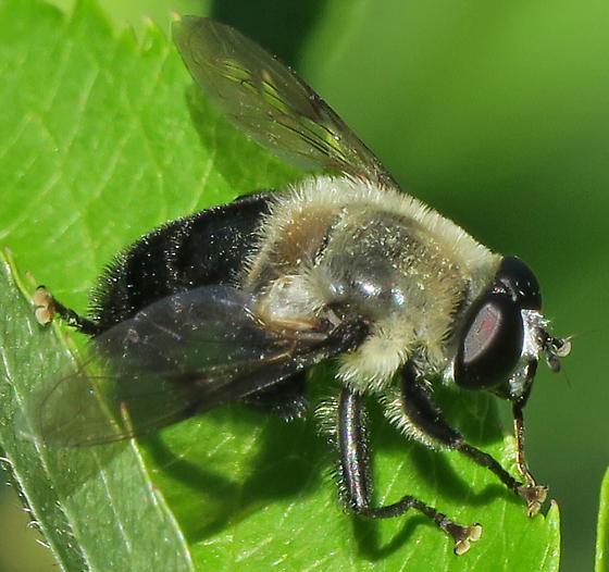 Narcissus Bulb Fly - Mallota bautias - male